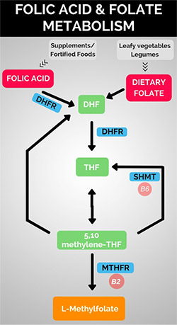 Methylfolate and Health Information | MTHFR Gene Info